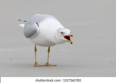 Ring-billed Gull (Larus delawarensis) in a territorial display - Jekyll Island, Georgia