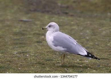 Ring-billed Gull (non-breeding)