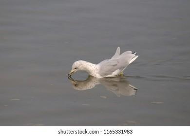 Ring-billed Gull (non-breeding, winter)