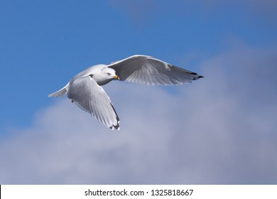 A ring-billed gull powers its wings downward to lift itself into a blue and cloudy sky.