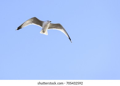 Ring-billed Gull scan surroundings while gliding overhead