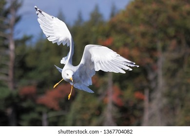 A ring-billed gull slows its descent from a forest sky by spreading its wings in the shape of angel wings.