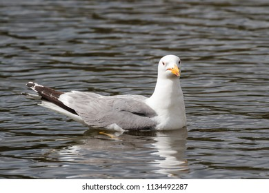 Ring-billed gull swimming in a calm lake.