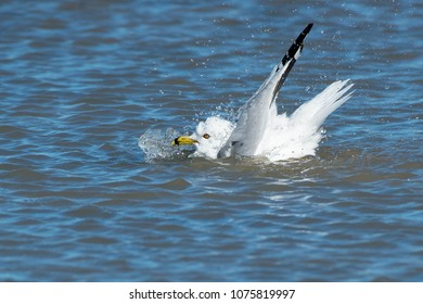 Ring-billed Gull taking a bath in the shallow water. Ashbridges Bay Park, Toronto, Ontario, Canada.