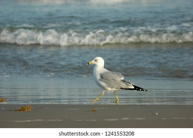 A ring-billed gull walking across a south Texas beach with the waves in the background.