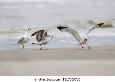 Ring-billed Gulls (Larus delawarensis) in a dispute over territory - Jekyll Island, Georgia