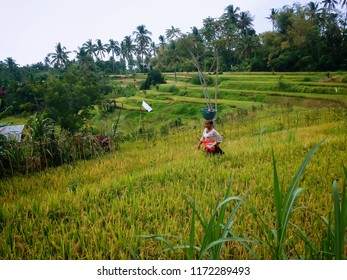 Ringdikit Village, Buleleng Regency, Bali / Indonesia - Aug 29 2018 : Farmers Wife In The Middle Of A Rice Field After The Offerings Ringdikit, North Bali, Indonesia