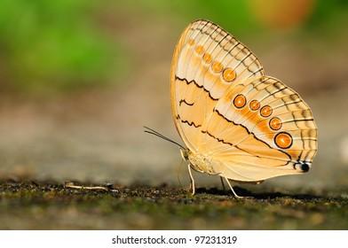 Ringed Nymphalidae