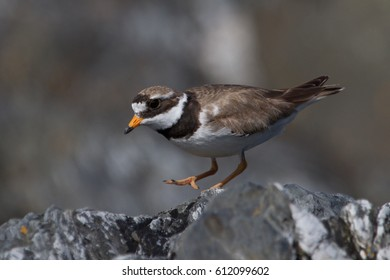 A ringed plover on St Michael's Island, Isle of Man