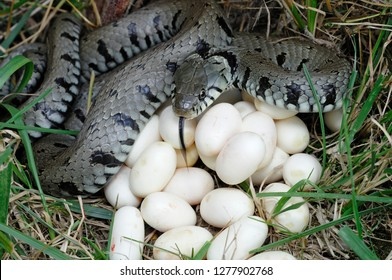 Ringed Snake with eggs