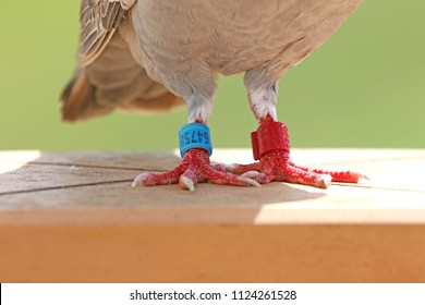 ringed or tagged feet of a homing pigeon, racing pigeon or domestic pigeon Latin columba livia domestica closeup taking a break from its long flight on a high balcony wall in spring in Italy