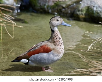 Ringed teal (Callonetta leucophrys) standing in water in its habitat