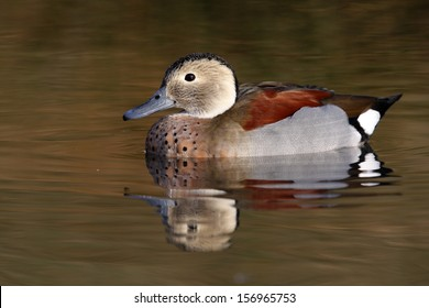 Ringed teal or ring necked teal, Callonetta leucophrys, male, native to South America