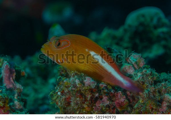 Ringeye hawkfish (Paracirrhites arcatus) perched on a rocky reef outcrop. Photographed on the Great Barrier Reef