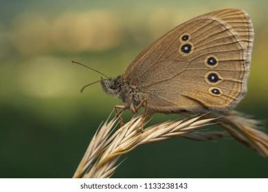 Ringlet, Aphantopus hyperantus, brown butterfly