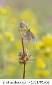 Ringlet, Aphantopus hyperantus resting on clower plant early morning, the butterfly is covered with dew