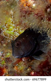 Ringneck blenny (Parablennius pilicornis) peeking from its hole in Sesimbra, Portugal