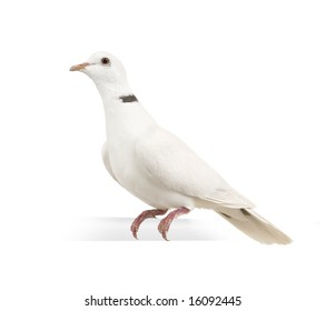 Ringneck Dove in front of a white background