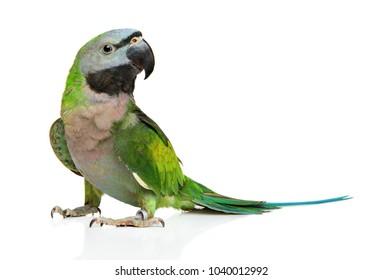 Ringneck parakeet Psittacula krameri in front of white background