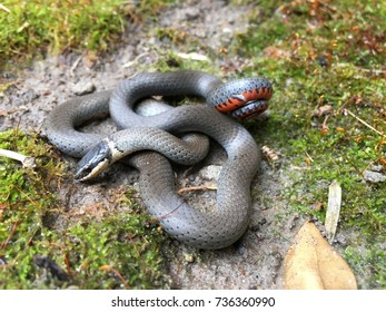 Ringneck snake wild
