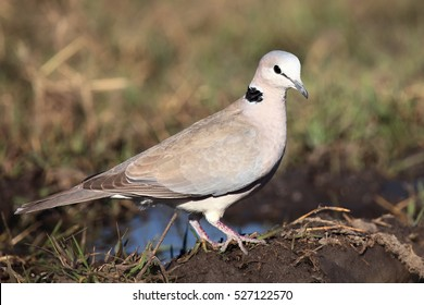 The ring-necked dove (Streptopelia capicola), also known as the Cape turtle dove sitting on the ground
