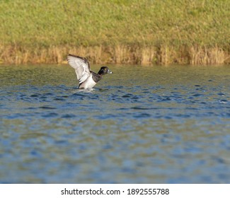 Ring-necked Duck flapping its wings at local pond.