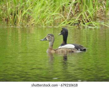Ring-necked Ducks in Minnesota