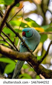 Ring-necked Parakeet (Psittacula krameri), from the Psittaculidae family.