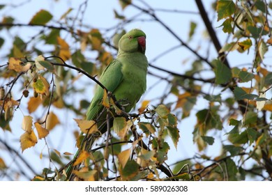 Ring-necked Parakeet spotted near Walthamstow, London