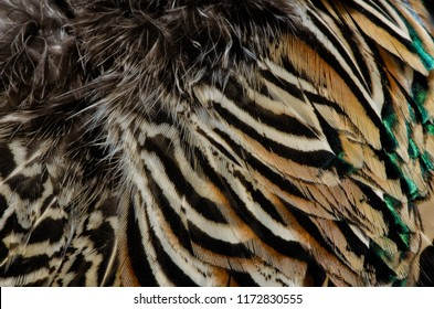 Ring-necked Pheasant feathers Agnieszka Bacal.
