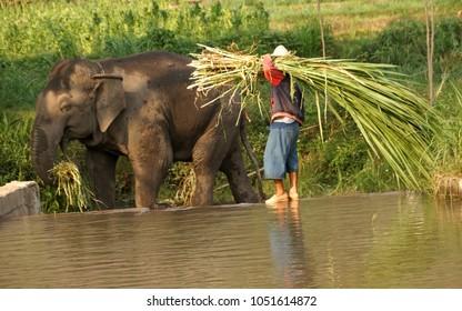 Ringt elepant eat grass
