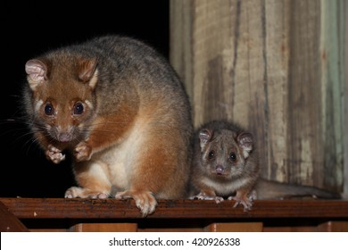 Ringtail Possum, mother and baby