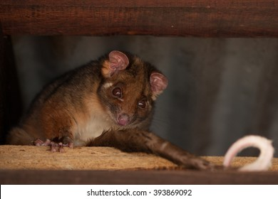A ringtail Possum on the beam under a roof