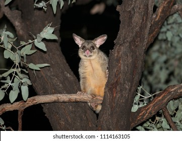 ringtail  possum in a tree at night, north Queensland,Australia.