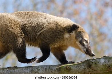A Ring-Tailed Coati climbs a tree