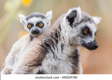 Ring-tailed Lemur with its baby