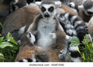 Ring-tailed lemur breastfeeding her two babies who are five weeks old