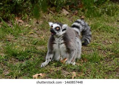 Ring-tailed lemur in captivity Lemur Kata