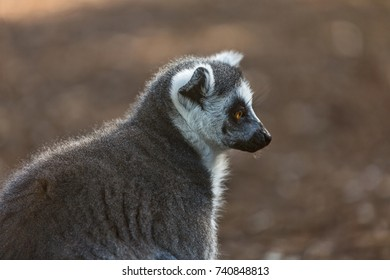 the ring-tailed lemur or Lemur catta