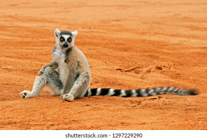 Ring-tailed lemur (Lemur catta), also known as Ring-tailed Maki, in its natural habitat on Madagascar. Standing on the ground.