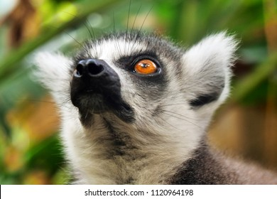 Ring-tailed lemur (Lemur catta) is large strepsirrhine primate and most recognized lemur due to its long, black and white ringed tail.