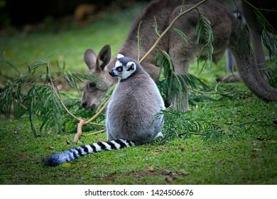 The ring-tailed lemur (Lemur catta) is a large strepsirrhine primate and the most recognized lemur due to its long, black and white ringed tail. It belongs to Lemuridae,