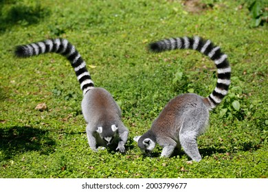 The ring-tailed lemur (Lemur catta) is a large strepsirrhine primate and the most recognized lemur due to its long, black and white ringed tail. It belongs to Lemuridae, one of five lemur families