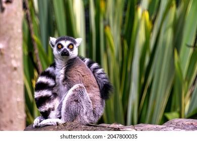 Ring-tailed lemur (Lemur catta) is a large strepsirrhine primate known as maky, maki or hira - Tsimanampetsotsa Nature Reserve, Madagascar