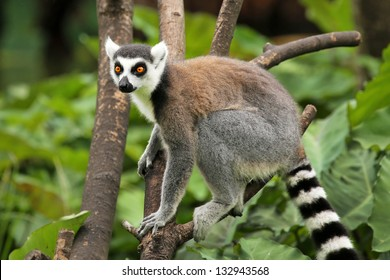 Ring-tailed Lemur (Lemur catta) looks out with big, bright orange eyes and watches from a branch in Madagascar. This is a large and endangered (near threatened) lemur species.