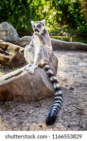 Ring-tailed Lemur 'Lemur Catta' in safari-park, Krasnodar, Russia