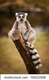 The ring-tailed lemur, Lemur catta sitting on a branch. Portrait of a primate with long, black and white ringed tail and orange yellow eyes.