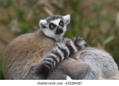 ring-tailed lemur (Lemur catta) at zoo, originally from Madagascar