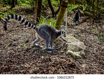 Ring-tailed lemur climbing onto a rock, with a second lemur in the background.