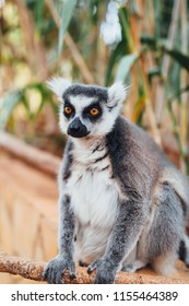 ring-tailed lemur, close-up view